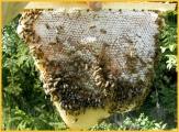 Naturwabe aus Top Bar Hive