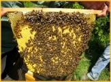 "Typische ""Herzförmige"" Naturwabe Top Bar Hive"